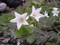 ミヤマカタバミ花