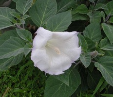 ケチョウセンアサガオ花