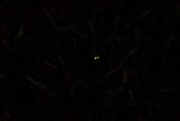 幼虫の発光1